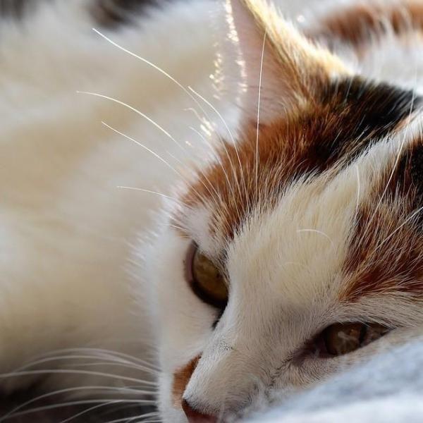 Cum să se ocupe cu pisica varsare de păr