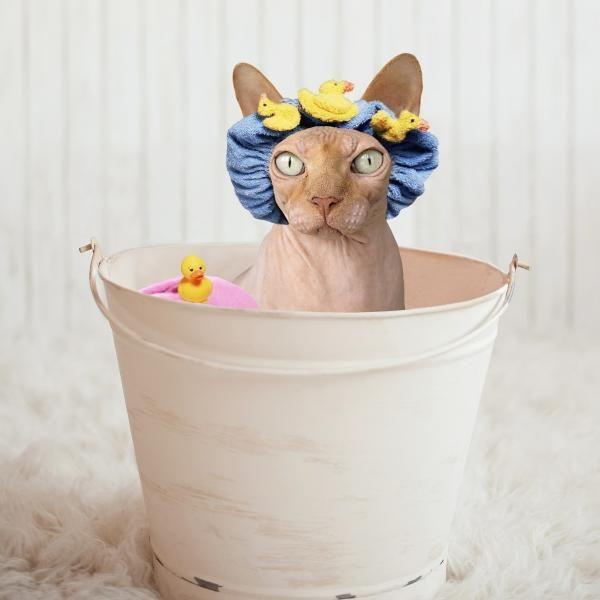 Cum de a da o pisica Sphynx sau pisica fara par o baie