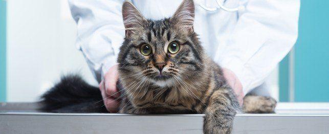 Cum de a identifica cele mai comune condiții de pisica