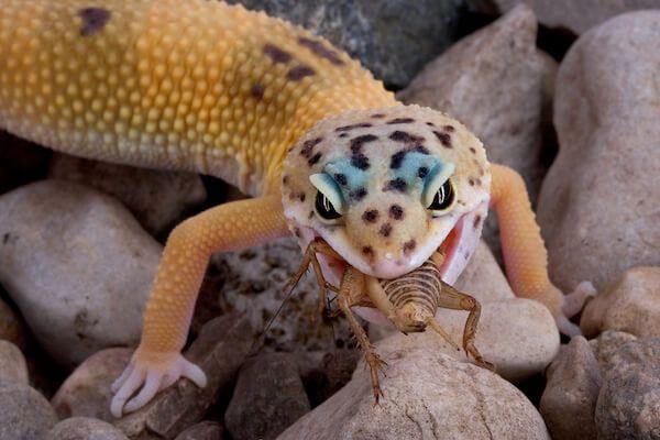 Eating Cricket Lizard feed