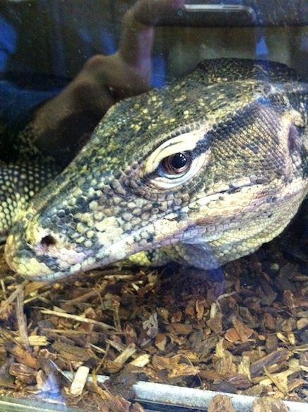 O imagine am luat de un gigant șopârlă monitor de apă (Varens Salvator), la un magazin de reptile din Lodi, California. Vezi ce vreau să spun când spun că