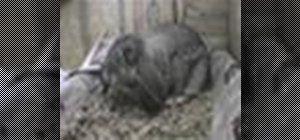 Tren un iepure de a utiliza o cutie de gunoi