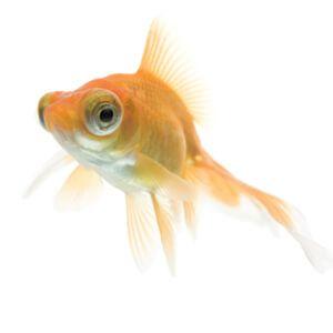 bubble-ochi-peștișor auriu
