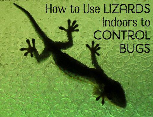 Un Gecko ca aceasta va mânca insecte mici în interiorul și apoi capul înapoi printr-o fereastră deschisă atunci când se răcește.