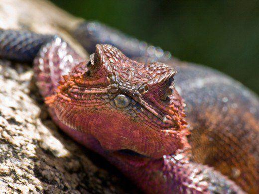 Masculin Agama Lizard