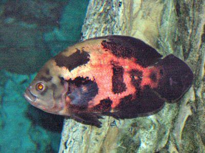 Oscar Cichlid, Astronotus ocellatus, Tiger Oscar, Velvet Cichlid, Marmura Cichlid