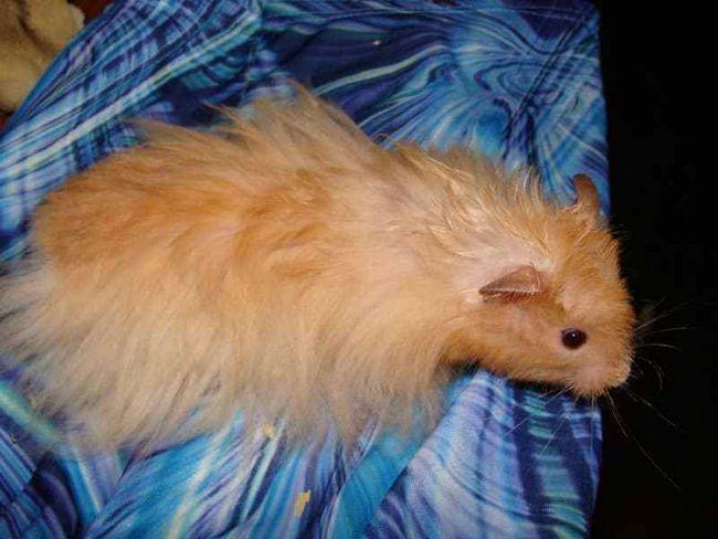 Hamsteri cu părul lung
