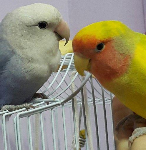 Imagine care arată o piersica cu care se confruntă Lovebird de sex masculin Mumu cu partenerul lui Lulu, care este un alb violet cu fața roseicollis piersica cu care se confruntă Lovebird de sex feminin.