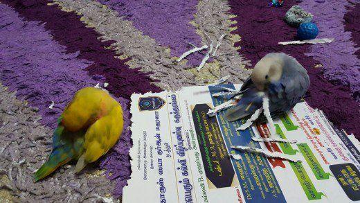Mumu încearcă să copieze Lulu punând bitul de hârtie în coada lui.