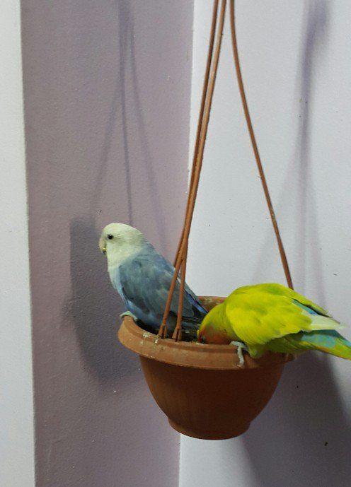 Doi colegi Lovebird mănâncă semințe, împreună dintr-o oală de plante de bani.