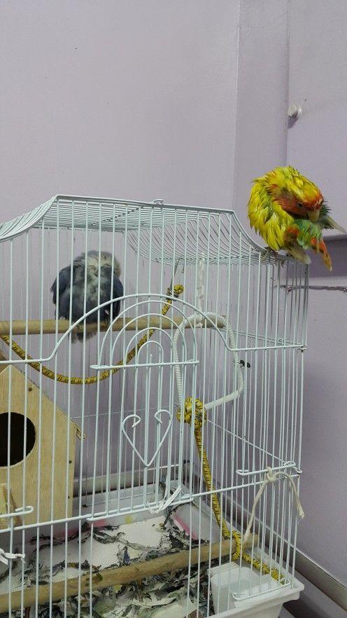 Lovebirds se uscarea prin auto-lăuda după ce a luat o baie.