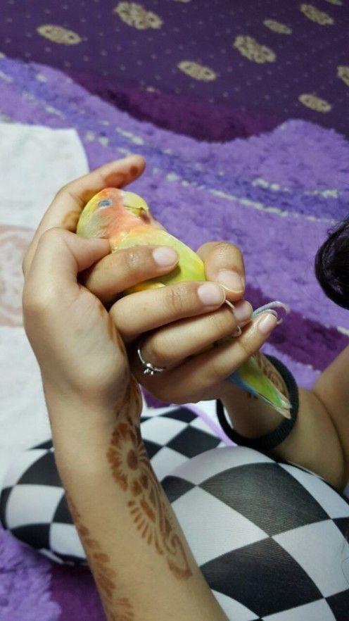 Cute piersic confruntat cu Lovebird numit Mumu dormit pe mâna mea.