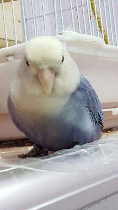 Imagine prezentând un adorabil alb cu fața voilet roseicollis piersica cu care se confruntă Lovebird, numit Lulu. Mutația este legată de sex. Fața și pieptul sunt albe, în timp ce restul corpului este violet profund. Aripile sunt violet, cu dungi de culoare gri.