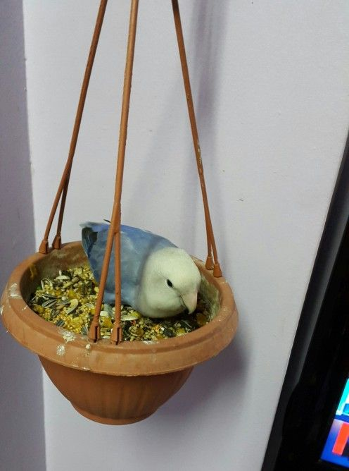 Lovebird Femeie numit Lulu mănâncă semințe de plante oală de bani. Ea îi place să doarmă și expansiunea aici!