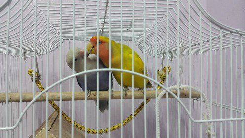Lovebird Masculin numit Mumu hrănire de sex feminin nume Lovebird Lulu de regurgitarea. Acesta este primul semn de curtare.