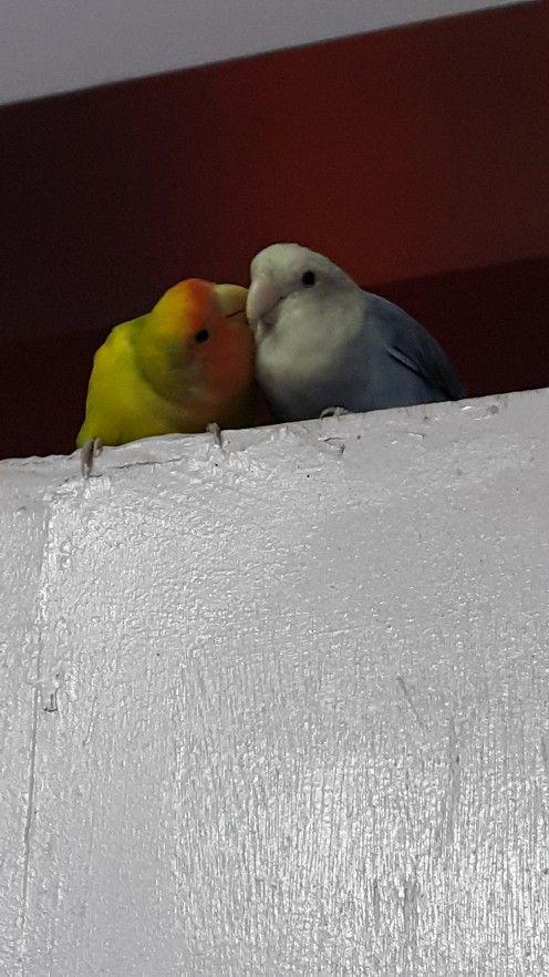 Imaginea care ilustrează apropierea a doi colegi Lovebird. Masculul numit Mumu este construirea de proximitate cu partenerul lui Lulu.
