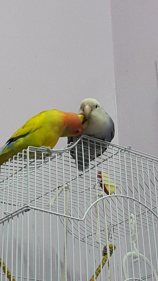 Imagine care arată Mumu Lovebird de sex masculin Lulu se auto-lăuda, The Lovebird de sex feminin.