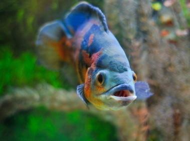 De îngrijire de pește Oscar