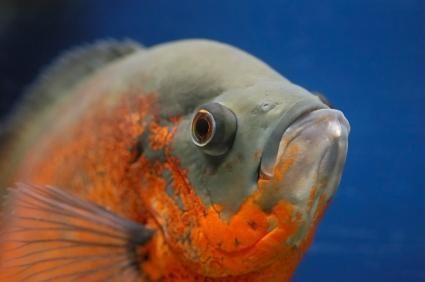 closeup de pește Oscar