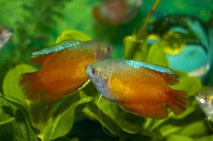 Populare pesti de acvariu tropicale