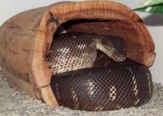 Python cu ochii ușor lăptos.