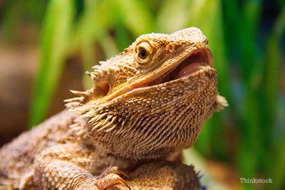 dragon bărbos