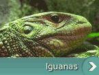 Iguanele