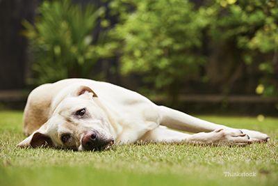 câine Sad de stabilire pe gazon