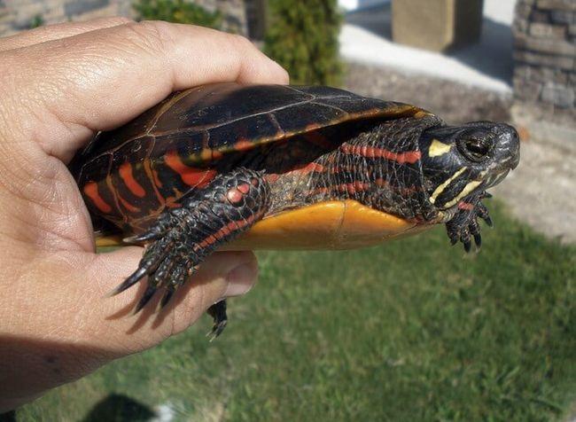 the-pictat-broască țestoasă