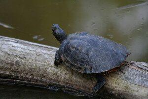 the-Cooter-broască țestoasă
