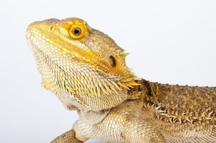 lovitură de cap de dragon bărbos