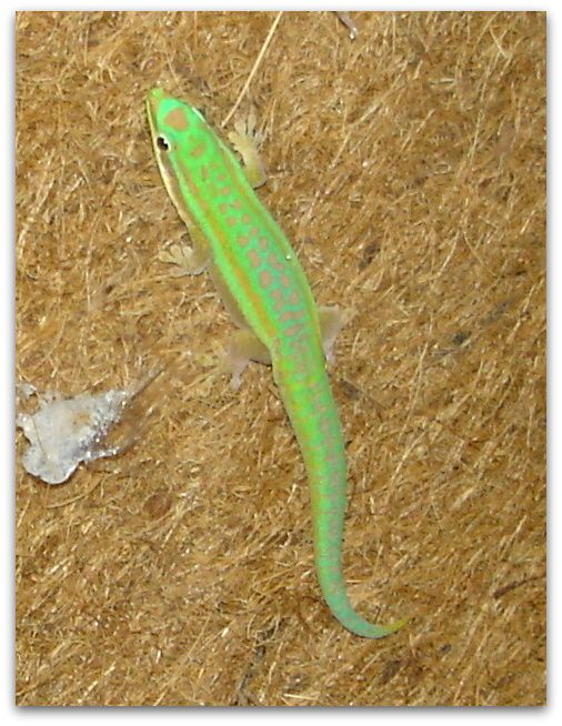 Gecko Day (Phelsuma) sunt unele dintre cele mai șopârlele-viu colorate. Acesta este un mascul tânăr. După cum sa maturizat, coada a devenit albastru, de viață de până la denumirea comună Gecko cu coada-albastru.